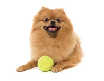The spitz-dog wishes to play Stock Photos