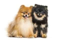 Spitz dog, 3 years old and 5 months old. Sitting in front of white background stock photos