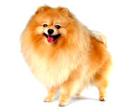 Spitz dog yellow color isolated on white Royalty Free Stock Photography