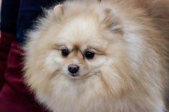 Spitz doggy Stock Image