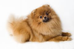 Spitz-dogs Royalty Free Stock Photography