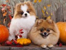 Spitz dogs in the autumn decor Stock Photos