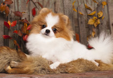 Spitz dogs in the autumn decor Stock Photography