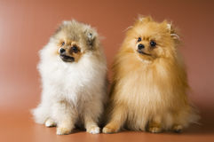 The spitz-dogs in studio Royalty Free Stock Photography