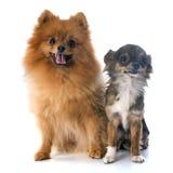 Spitz e chihuahua di Pomeranian immagine stock libera da diritti