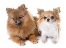 Spitz et chiwawa de Pomeranian Image libre de droits