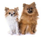 Spitz et chiwawa de Pomeranian Photographie stock
