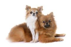 Spitz et chiwawa de Pomeranian Images stock