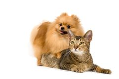 Spitz-förfölja och katten arkivbild