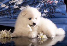 Spitz and flower Stock Image