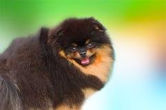 Spitz foncé de Pomeranian Photos libres de droits
