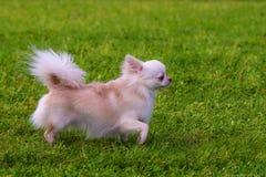 Spitz foncé de Pomeranian Images stock