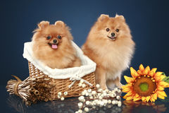 Spitz funny puppies with basket Royalty Free Stock Photo