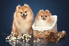 Spitz funny puppies in basket stock photo