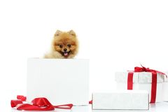 Spitz with gift box Royalty Free Stock Image