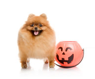 Spitz with Halloween pumpkin Stock Images