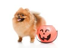 Spitz with Halloween pumpkin Royalty Free Stock Photos