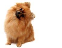 Spitz hond Stock Fotografie