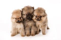 Spitz hond Royalty-vrije Stock Fotografie