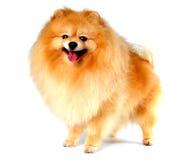 Spitz hond gele kleur die op wit wordt geïsoleerd Royalty-vrije Stock Fotografie