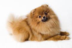 Spitz-honden Royalty-vrije Stock Fotografie