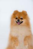 Spitz-hund Arkivfoton