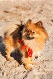 Spitz, Hund, Hündchen bleibt auf dem Sand mit rotem Bogen und Blick weg Stockbilder
