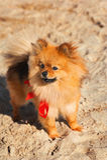 Spitz, Hund, Hündchen bleibt auf dem Sand mit rotem Bogen und schaut nach links Stockfotografie