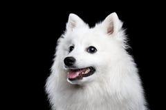 Spitz japonais blanc Images stock