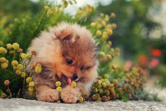 Spitz lies in the flowers.  royalty free stock image