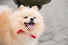 Spitz, little dog on street background. Outdoor Stock Photos