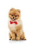 Spitz. Little funny spitz with bow tie royalty free stock photo