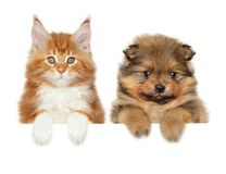 Spitz and Mainecoon above banner royalty free stock image