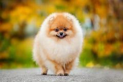 Spitz novo do filhote de cachorro no outono Imagem de Stock