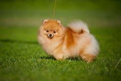 Spitz novo do filhote de cachorro no verão Imagens de Stock Royalty Free