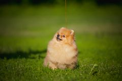 Spitz novo do filhote de cachorro que senta-se na grama Fotos de Stock