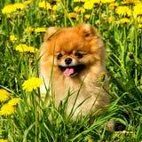 Spitz pelucheux de Pomeranian de chien se reposant en parc de ressort dans la bordure Image libre de droits