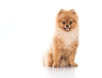 Spitz royalty free stock image