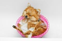 Spitz pies bierze skąpanie i dostaje przyjemność Obrazy Stock