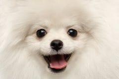 Spitz Pomeranian ευτυχίας κινηματογραφήσεων σε πρώτο πλάνο γούνινο άσπρο περίεργο χαμόγελο σκυλιών στοκ φωτογραφίες
