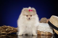 Spitz Pomeranian κουτάβι κοντά στο ψάθινο καλάθι στοκ φωτογραφία