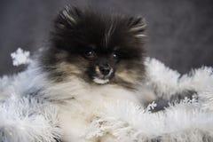 Spitz Pomeranian κουτάβι σκυλιών στις γιρλάντες στα Χριστούγεννα ή το νέο έτος Στοκ φωτογραφίες με δικαίωμα ελεύθερης χρήσης