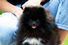 Spitz Pomeranian κουταβιών με τον ιδιοκτήτη του Νέο ενεργητικό σκυλί σε έναν περίπατο Μουστάκια, πορτρέτο, κινηματογράφηση σε πρώ στοκ εικόνα