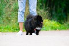 Spitz Pomeranian κουταβιών με τον ιδιοκτήτη του Νέο ενεργητικό σκυλί σε έναν περίπατο Μουστάκια, πορτρέτο, κινηματογράφηση σε πρώ στοκ φωτογραφίες με δικαίωμα ελεύθερης χρήσης