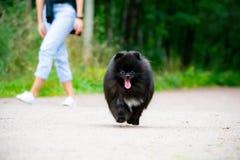 Spitz Pomeranian κουταβιών με τον ιδιοκτήτη του Νέο ενεργητικό σκυλί σε έναν περίπατο Μουστάκια, πορτρέτο, κινηματογράφηση σε πρώ στοκ φωτογραφία