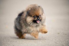 Spitz Pomeranian περπάτημα κουταβιών Στοκ φωτογραφίες με δικαίωμα ελεύθερης χρήσης
