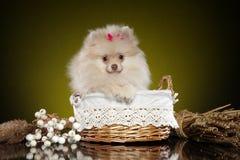 Spitz Pomeranian το κουτάβι κάθεται στο ψάθινο καλάθι στοκ φωτογραφία με δικαίωμα ελεύθερης χρήσης
