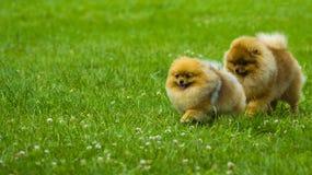 spitz Pomeranian corre en campo de hierba Persiga el funcionamiento fotos de archivo libres de regalías