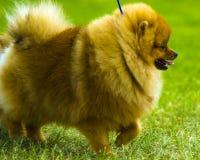 spitz Pomeranian corre en campo de hierba Persiga el funcionamiento fotografía de archivo