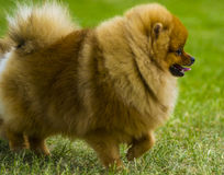 spitz Pomeranian corre en el campo de hierba, funcionamiento del perro imagenes de archivo